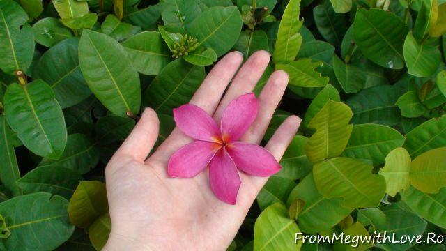 plumeria, flower, nature