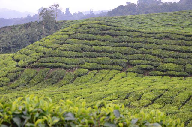 Plantaţii de ceai - Cameron Highlands, Malaezia