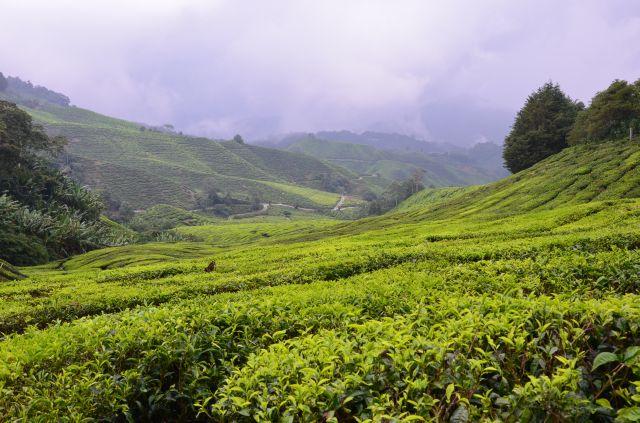 plantatii de ceai cameron highlands malaezia (3)
