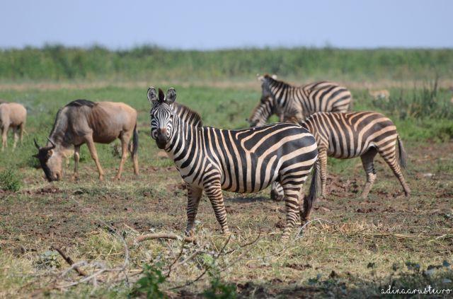 Safari Lake Manyara, Ngorongoro Crater, Tangire Tanzania (9)